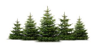 10ft Christmas Tree Canada by Christmas Trees Steve U0027s Industries Ltd