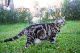 shorthair cat price american shorthair kitten price