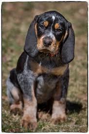 Do Bluetick Coonhounds Shed by Bluetick Coonhound Dog Grand Bleu De Gascogne Hounds Dogs