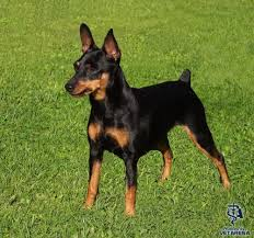 miniature pinscher complete breed information and photos