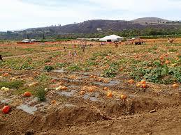 Tanaka Pumpkin Patch Irvine by Tanaka Farms