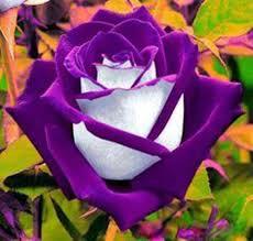 20 Osiria Purple Rose Seeds Rare Exotic purple and White Rose Seeds