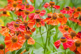 best perennials for late summer and fall in the pacific northwest