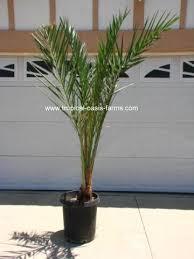 golden palm in pots medjool date palm trees for sale medjool dates