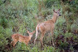 Does Deer Shed Their Antlers by All About The White Tailed Deer Welcome Wildlife