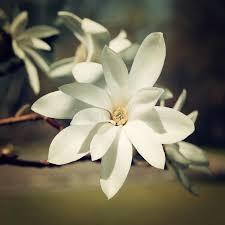Download Magnolia Flower Vintage Effect Beautiful Creamy Blossom Retro Photo Stock