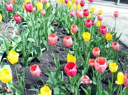 tulip planting best time to plant tulips when to plant tulips
