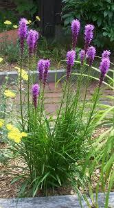 what grows in my yard blazing liatris spicata