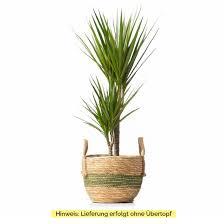 zimmerpflanze drachenbaum marginata ohne übertopf dracaena marginata