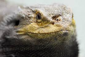 Bearded Dragon Shedding Nostrils by 100 Shedding Bearded Dragons Problems Beardie U0027s Life