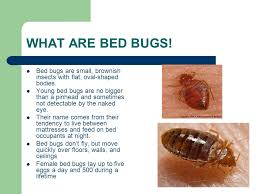 ABOUT BED BUGS WHAT ARE BED BUGS Bed bugs are small brownish