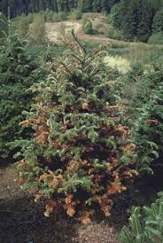 Nordmann Fir Christmas Tree Nj by The Christmas Tree Traditions Production And Disease