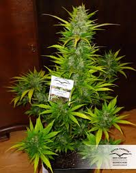 recolte cannabis exterieur date recolte cannabis exterieur date farqna