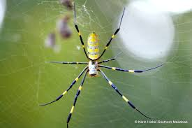 Southern Meadows: New Find: Joro Spider R2rustys Chatter September 2017 Ladybugs Backyard And Beyond Birdingand Nature Golden Silk Orb Weaver Spider In Bug Eric Sunday Black Yellow Argiope Glass Beetle By Falk Bauer A Backyard Naturalistinsects Ghost Spiders Family Anyphnidae Spidersrule C2c_wiki_silvgarnspider_hrw8q0m1465244105jpg Aurantia Wikipedia Two Views Sonoran Images Elephant Tiger Skin Spiny Blackandyellow Garden Mdc Discover Power Animal For October Shaman Amy Katz