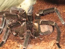 Do Tarantulas Molt Upside Down goliath birdeater bad molt help arachnoboards