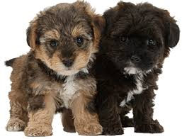 hypoallergenic and low shedding dogs