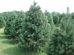 Fresh Christmas Trees Types by How To Choose And Care For The Perfect Christmas Tree