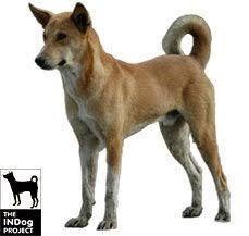 Low Shedding Dogs In India by Indian Pariah Dog Dog Breed Information Dogspot In