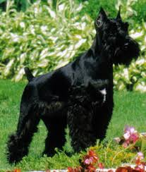 Do Giant Schnauzers Shed by Debi Durst Pampered Paws