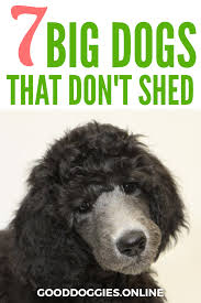 Dogs That Dont Shed Large by 100 What Dogs Dont Shed Small Dogs That Don U0027t Shed Why