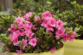 azalées encore 3 floraisons par an
