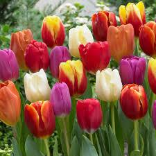 zyverden tulips bulbs triumph mixture set of 100 21597 the