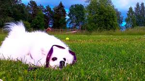 Dogs That Dont Shed And Smell by Scent U201d Rolling Why Does My Dog Smell Grass And Then Rolls Over