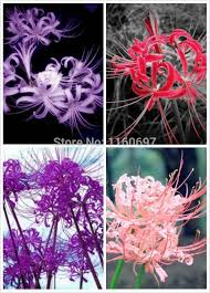free shipping home decoration flower bulbs lycoris blubs4 color