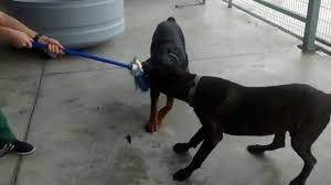 Cane Corso Mastiff Shedding by Rottweiler And Cane Corso Competing For Car Brush Youtube