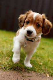 All Dog Breeds That Dont Shed by Best 25 Cute Small Dog Breeds Ideas On Pinterest Cutest Small