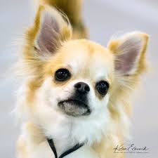 100 Where Is Chihuahua Located Home Knockout AKC Health Tested S