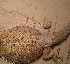 my dragon has white patches bearded dragon org