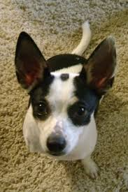 Rat Terrier Excessive Shedding by Rat Cha Dog Breed Information And Pictures