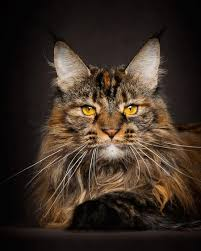 Do Maine Coons Shed In The Summer by Maine Coon Cats Like Majestic Mythical Beasts By Robert Sijka