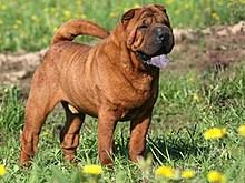 Do Shar Peis Shed Hair by Shar Pei Wikipedia