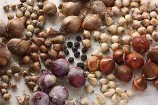 watsonia in seeds bulbs ebay