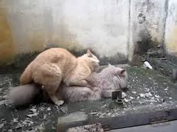 cats mating cat mating successful