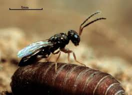 Biological Fly Control