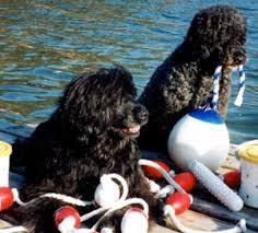Portuguese Water Dog Shedding Problems by Everything About Your Portuguese Water Dog Luv My Dogs
