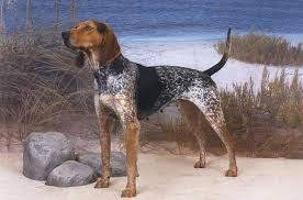Do Bluetick Coonhounds Shed by American English Coonhound