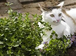 katzenminze welche wirkung hat sie auf katzen berlin de