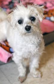 Small Non Shedding Dogs For Adoption by Afrp Dogs Available For Adoption