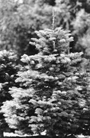 Developing High Quality True Fir Christmas Trees