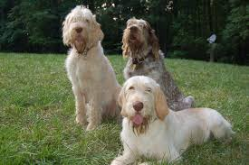 Non Shedding Small Dogs For Adoption by Italian Spinone Breeders