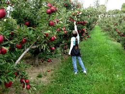 Discover Apple Picking 9 Pick Your Own Orchards Long Island