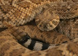 rattlesnake facts