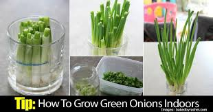 tip how to grow green onions indoors
