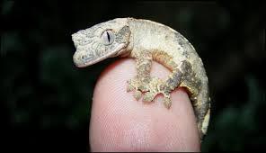 Crested Gecko Shedding Behavior by Meet The Crested Geckos Jonathan U0027s Jungle Roadshow