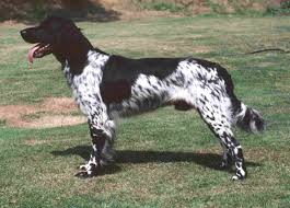 Springer Spaniel Shed Hunting by Large Münsterländer Spaniel Things I Adore Pinterest Large