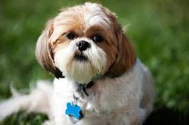Dog Breeds That Dont Shed by Top 5 Dog Breeds That Don U0027t Shed Four Legged Guru